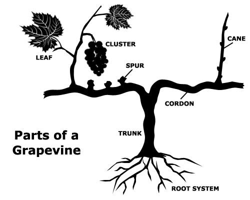 Diagram of parts of a grapevine
