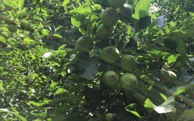 EO apple tree