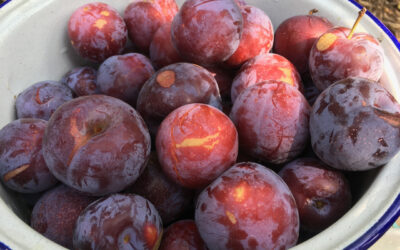 Fresh picked plums